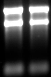 RNA loading buffer (2X)