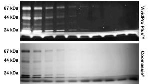 Fluorescent protein stains, VividPro™ Plus